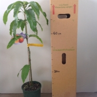 Mango - Nam doc mai For Sale (Size: Large)  (Grafted)