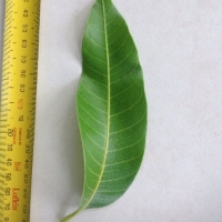 Leaf of the Mango Nam doc mai