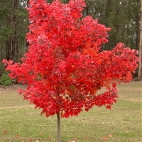 Acer rubrum at Manjimup