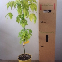 Maple - Kellies Gold For Sale (Size: Large)  (Grafted)