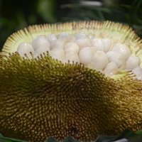 Marang Fruit By Constantine Agustin [CC BY-SA 2.0 (https://creativecommons.org/licenses/by-sa/2.0/)] From Flickr https://flic.kr/p/e8xobv