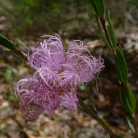 Melaleuca Pink Lace Honey Myrtle By John Tann [CC BY 2.0 (https://creativecommons.org/licenses/by/2.0/)] From Flickr https://flic.kr/p/dHG6mX