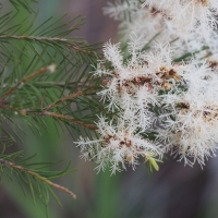 Flowers and foliage of Melaleuca alternifolia By Geoff Derrin [CC BY-SA 4.0  (https://creativecommons.org/licenses/by-sa/4.0)], from Wikimedia Commons