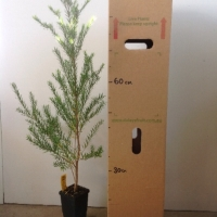 Melaleuca - White cloud tree For Sale (Size: Medium)  (Grown from Seed)