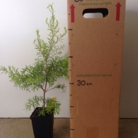 Melaleuca - Golden Gem For Sale (Size: Medium)  (Cutting Grown)