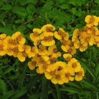 mexican tarragon By Dick Culbert from Gibsons, B.C., Canada (Tagetes lucida, the Sweetscented Marigold) [CC BY 2.0  (https://creativecommons.org/licenses/by/2.0)], via Wikimedia Commons
