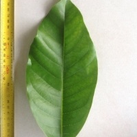 Leaf of the Michelia Alba Pak Lan grafted