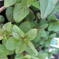 mint chololate By _e.t [CC BY-SA 2.0 (https://creativecommons.org/licenses/by-sa/2.0/)] From Flickr https://flic.kr/p/QJcfv