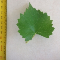 Leaf of the Muscadine Grape Noble