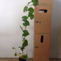 Muscadine Grape Noble For Sale Mega Tube
