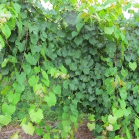 Muscadine Grape Vine