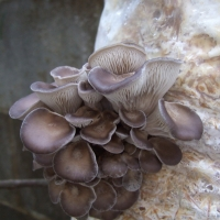 Blue Oyster Mushroom Growing By Wendell Smith [CC BY 2.0 (https://creativecommons.org/licenses/by/2.0/)] From Flickr https://flic.kr/p/rNKBEM
