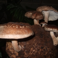 Shiitake mushrooms ready for harvest