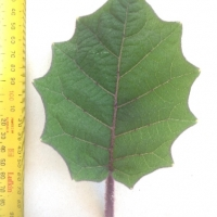 Leaf of the Naranjilla