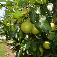 Nashi Pear General Variety By Apple and Pear Australia Ltd [CC BY 2.0 (https://creativecommons.org/licenses/by/2.0/)] From Flickr https://flic.kr/p/jN4hpH