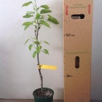 Nashi Pear - Shinseiki For Sale (Size: Large)  (Grafted)