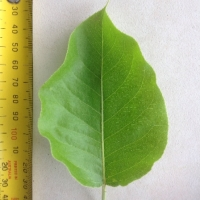 Leaf of the Nashi Pear Shinseiki