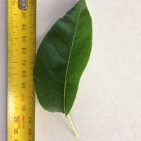 Leaf of the Nashi Ya Li Pear