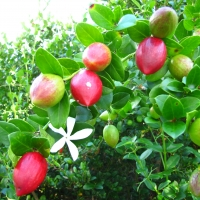 natal Plum on tree