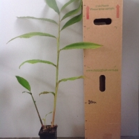 Native Ginger For Sale (Size: Medium)  (Grown from Seed)