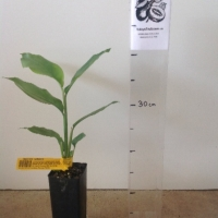 Native Ginger For Sale (Size: Small)  (Grown from Seed)