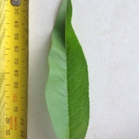 Leaf of the Nectarine Sunraycer