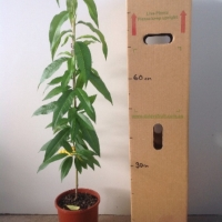 Nectarine - Sunwright For Sale (Size: Large)  (Grafted)