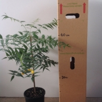 Neem tree grafted For Sale 165mm pot