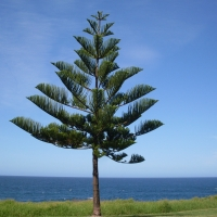 Norfolk Island Pine (Aruacaria heterophylla) at the ocean By John Tann [CC BY 2.0 (https://creativecommons.org/licenses/by/2.0/)] From Flickr https://flic.kr/p/6aUxcV