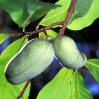 Paw Paw North American Asimina triloba By Scott Bauer, USDA (USDA ARS Image Number K7575-8) [Public domain], via Wikimedia Commons