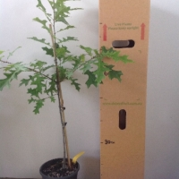 Oak - Pin For Sale (Size: Large)  (Grown from Seed)
