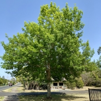 A pin oak that is very health at the KYOGLE Anzac Park By DaleysFruit.com.au [All Rights Reserved]