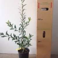 Olive Arbequina For Sale 165mm pot