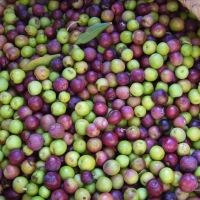 Olives cultivar Arbequina (Catalonia) By Victor M. Vicente Selvas [Public domain], from Wikimedia Commons