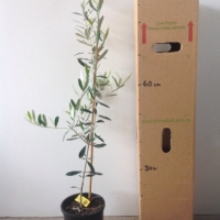Olive - Frantoio For Sale (Size: Large)  (Cutting Grown)