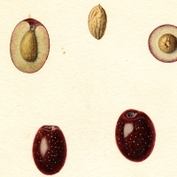 Image of the Manzanillo variety of olives (scientific name: Olea europaea) By English: Steadman, Royal Charles, b. 1875 [Public domain], Cropped From Wikimedia Commons