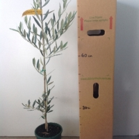 Olive - Picual For Sale (Size: Medium)  (Cutting Grown)