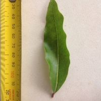 Leaf of the Olivers sassafras