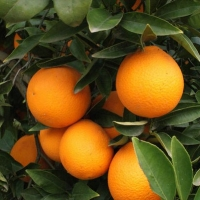 Orange Navelate Growing on Tree By Naranjas Orange [CC BY-SA 3.0  (https://creativecommons.org/licenses/by-sa/3.0)], from Wikimedia Commons