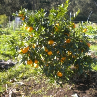 Oranges smooth seville Fruit Tree Growing with Oranges By Jan4 My Edible Page DaleysFruit.com.au [All Rights Reserved]