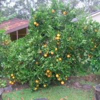 Orange Washington Navel Fruit Tree in Backyard From Edward3's My Edible Fruit Trees Original Photo: https://www.daleysfruit.com.au/my/1622/#40785