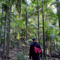 Walking through Bangalow Palms in the Border Ranges national park in Australia