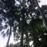 Botanical Gardens Brisbane Cabbage Palm By DaleysFruit.com.au [All Rights Reserved]