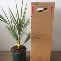 Palm Date Khadrawy For Sale 165mm pot