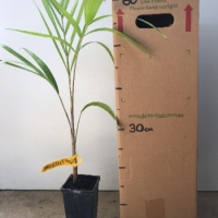 Palm - Foxtail For Sale (Size: Medium)  (Grown from Seed)