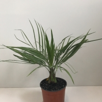 Palm - Jelly or Wine Palm For Sale (Large)