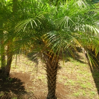 Dwarf Date Palm By Forest and Kim Starr [CC BY 2.0 (https://creativecommons.org/licenses/by/2.0/)] From Flickr https://flic.kr/p/CYncsN