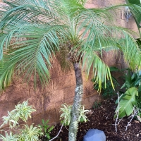 Dwarf Date palm at Sea World