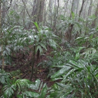 Walking Stick Palm understory on Mt Gipps in Border Ranges NSW