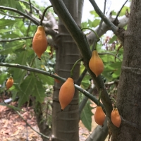 Oak Leaf Papaya Fruit